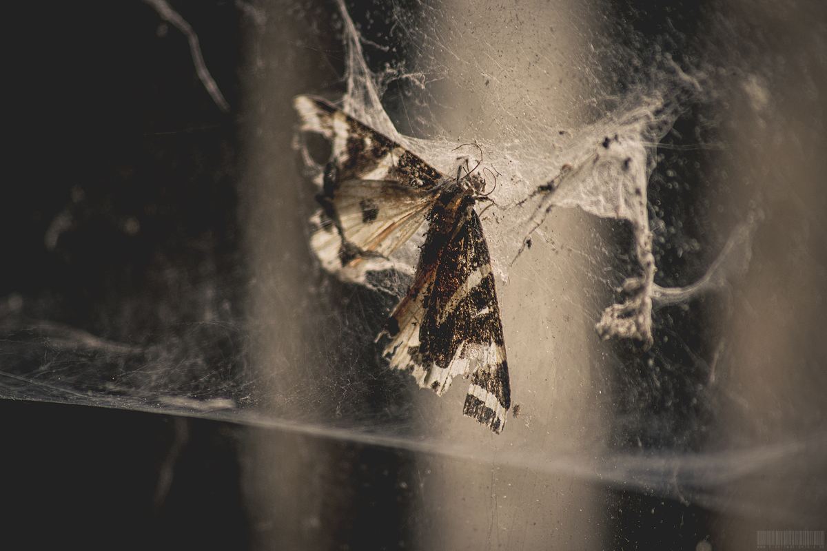 Schmetterling in Spinnenwebe